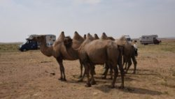 Image: Camels in front of some motorhomes in a dusty steppe
