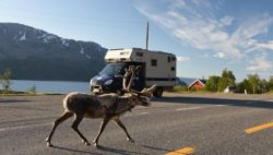 Image: A reindeer is crossing a parking lot in front of a motorhome